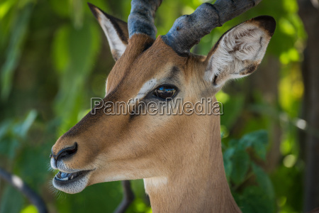 close up of male impala with