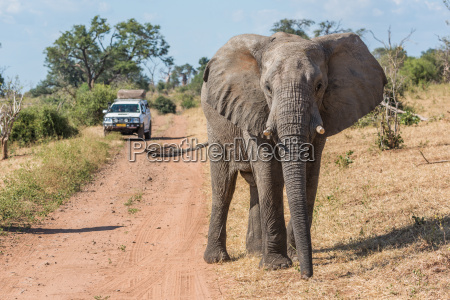 elefanten vor dem jeep auf der