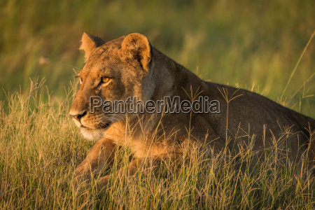 close up of lion lying in