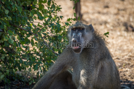 close up of chacma baboon sitting