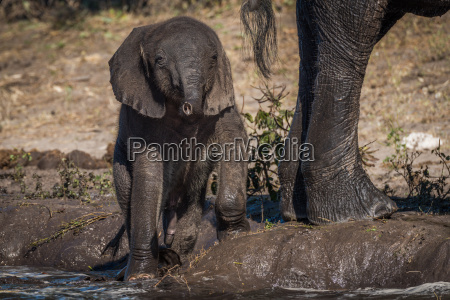 baby elefant kaempfe entlang flussufer neben