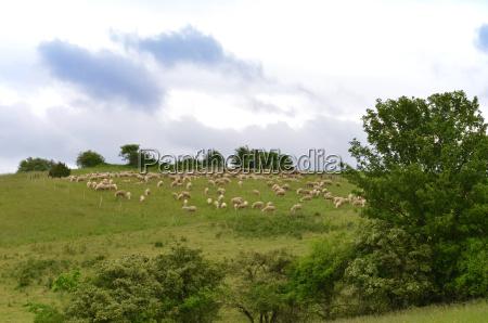 flock of sheep in thueringen rhoen