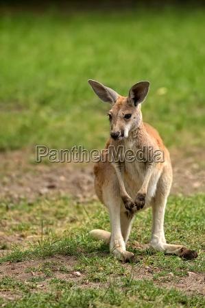 kangaroo in the clearing