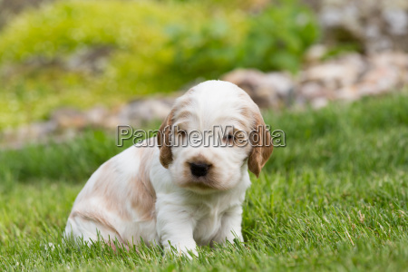 kleiner reinrassiger englischer cocker spaniel puppy