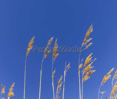 reed grass in backwater