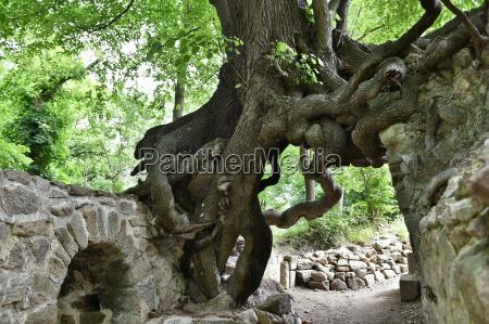 alter lindenbaum