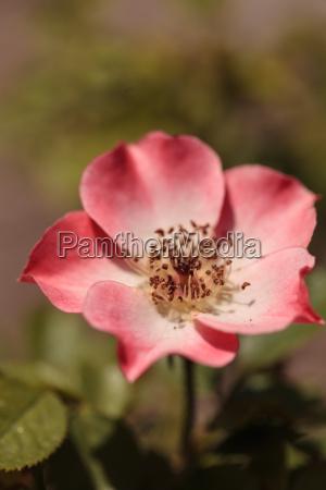 garten blume rose pflanze bluete erbluehen