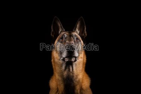 belgischer schaeferhund malinois studioaufnahme