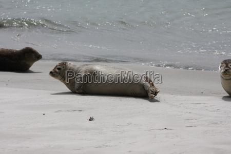 kegelrobben robben saeugetier nordsee tiere strand