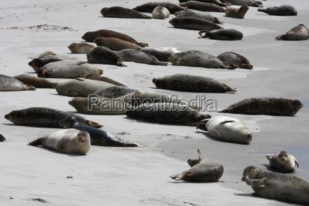 Kegelrobben, Robben, Säugetier, Nordsee, Tiere, Strand - 17982616