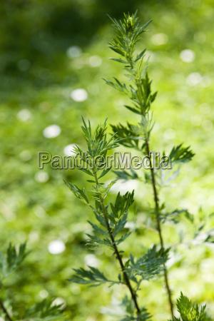 mugwort artemisia vulgaris healing plant