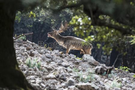 sizilien parco delle madonie damhirsch waehrend