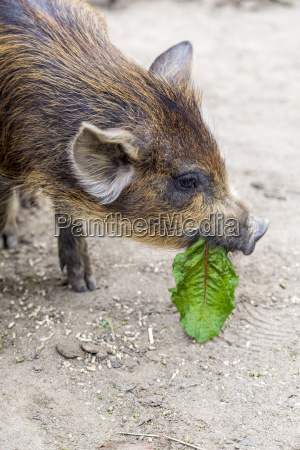 portrait of young wild boar eating