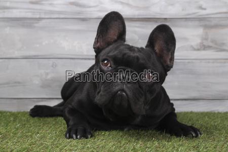 portrait of black french bulldog lying