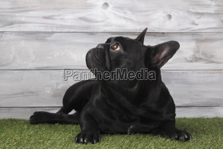 black french bulldog lying on grass