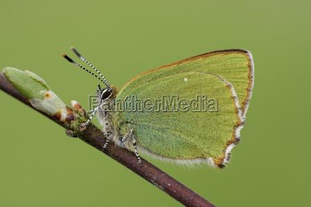 green hairstreak on a twig