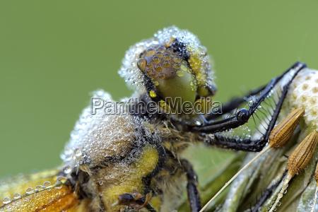 four spotted chaser libellula quadrimaculata portrait