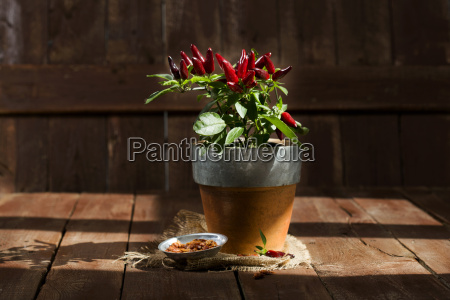 potted chilli pepper
