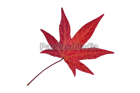 autumn leaf of sweetgum in front