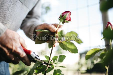 senior mans hand cutting rose in