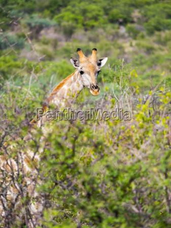 namibia etosha national park giraffe giraffa