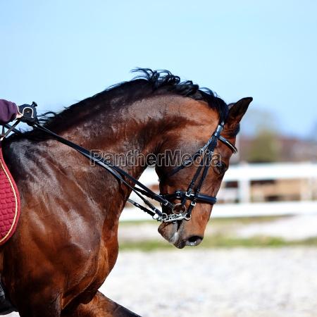 portraet eines sportbraunen pferdes