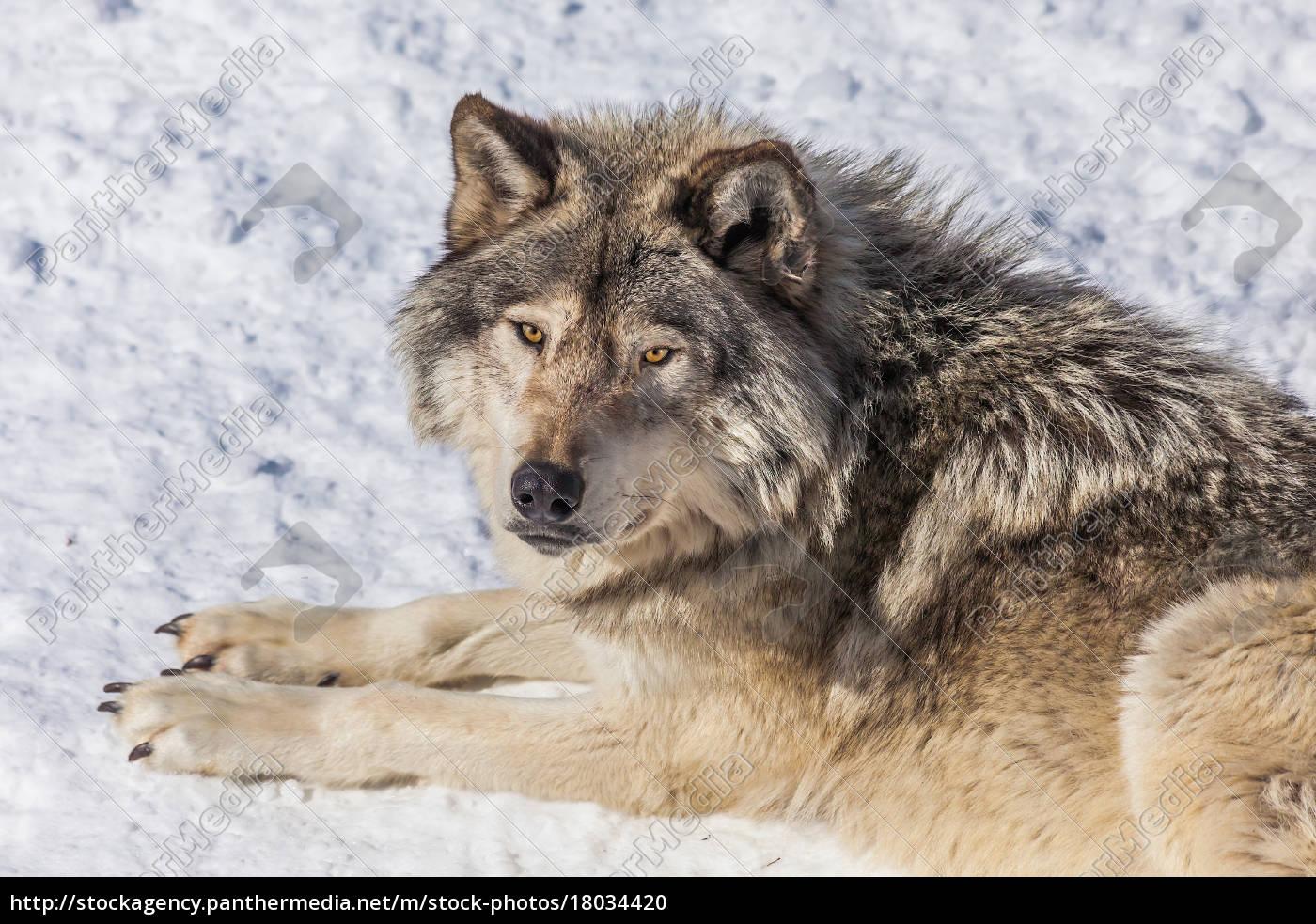 Bilder Wolf Im Schnee - Kostenlos zum Ausdrucken
