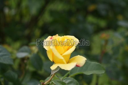 rose yellow bud