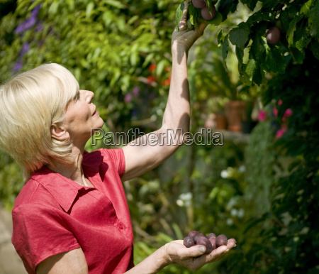 senior woman picking fruit from tree