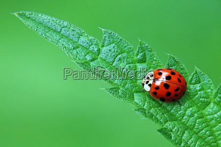 asian lady beetle harmonia axyridis