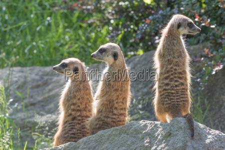 trinity of meerkats posing on a
