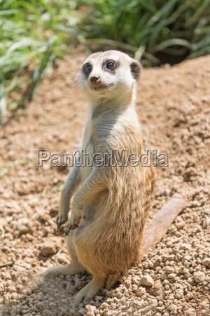 meerkat posing on a sand