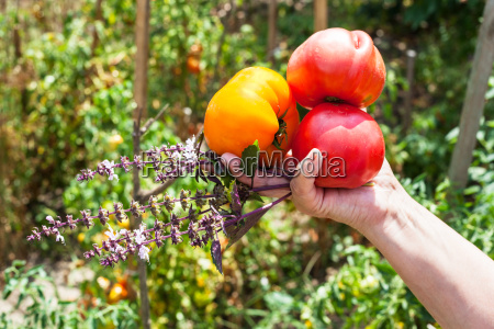 farmer hand haelt reife tomaten und