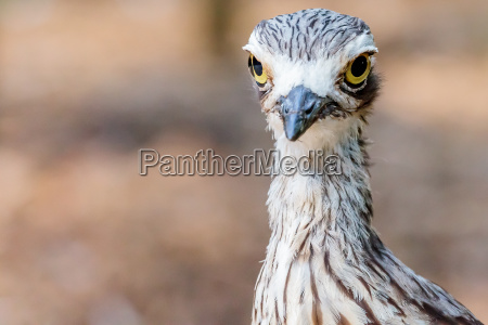 vogel brush stone curlew