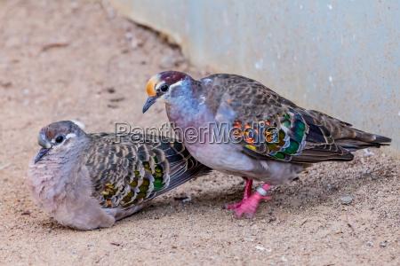 vogel taube common bronzewing