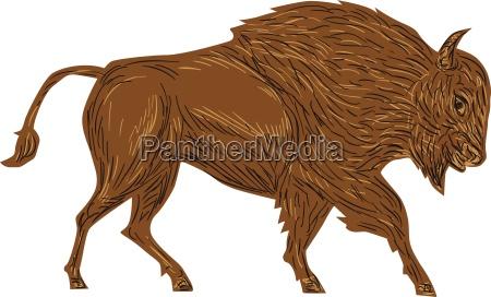 north american bison buffalo charging retro