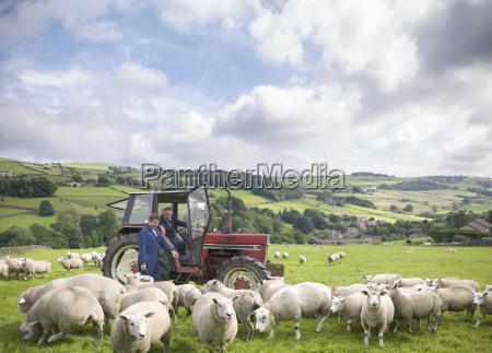 landwirt im traktor mit aufpassenden schafen