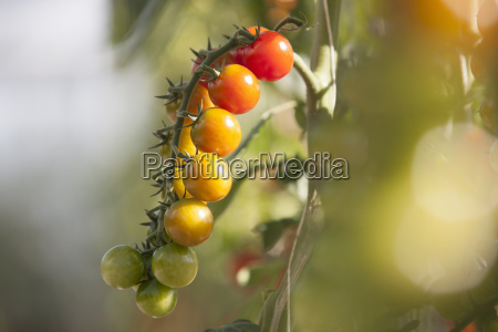 close up of vine tomatoes ripening