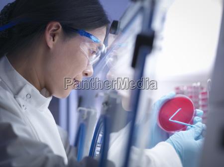 nahaufnahme von wissenschaftler bakterien kultur in