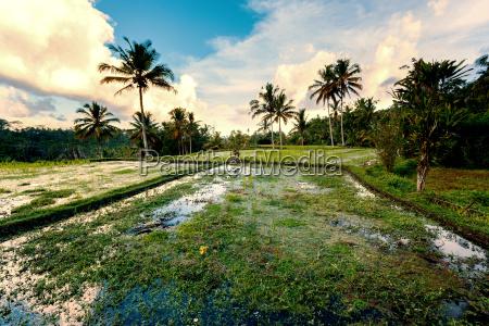 reis terrassierten reisfelder in gunung kawi