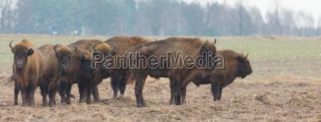 europaeische bison herde in snowless winter