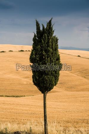 einsamer zypressenbaum in der toskanischen landschaft