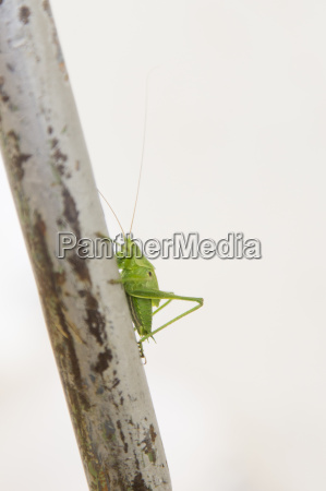 seitenansicht, des, grünen, cricket, auf, einem - 18267830