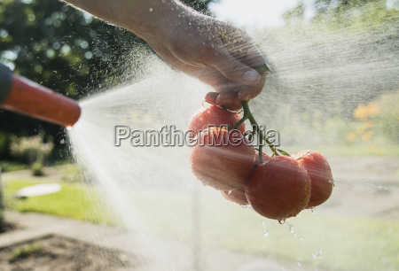 gardener hosing down tomatoes