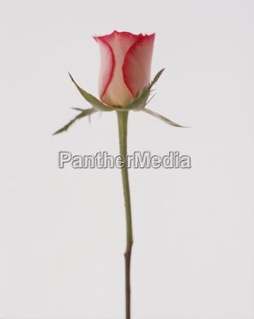 single pink rosebud on white background