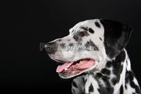 adult male dalmatian portrait