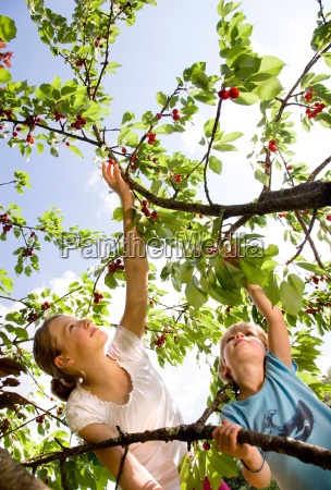 girl and boy picking cherries on