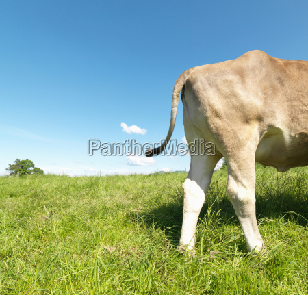 cow in field rear only side