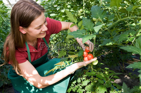 woman, caring, for, tomato, plant - 18312370