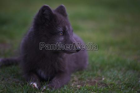 arctic fox sitting in grass